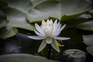 waterlilly_2
