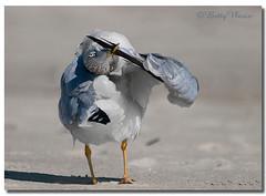 Ring-billed Gull (Betty Vlasiu) Tags: ringbilled gull juvenil larus delawarensis bird nature wildlife chincoteague island