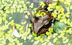 359. Common Frog (1000 Wildlife Photo Challenge) Tags: frog commonfrog ukfrog garden inmygarden ukwildlife wildlife wildlifephotography nature uknature