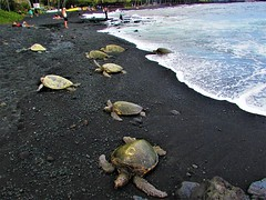 Sea turtle beach (thomasgorman1) Tags: sand rocks lavarock canon turtle sealife wildlife shore blacksand punuluu people coast hawaii island seaturtle reptile animal turtles