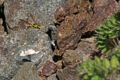IMG_4713 (edward_rooks) Tags: sierraazulopenspacepreserve bald mountain mount umunhum insects wildflowers butterflies bees wasps assassin bug
