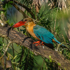 Stork-billed kingfisher in tree (Robert-Ang) Tags: kingfisher storkbilledkingfisher japanesegarden singapore animalplanet