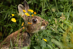 Rabbitt Eating a Dandelion (siramman64) Tags: wildlife wildlifeuk sirammanpictures siramman forestfarm nature southwales
