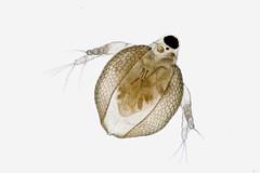 Ceriodaphnia (mr.sansibar) Tags: pond freshwater aquatic zooplankton olympusbh2 focusstacking planapo photomicrography microscopy heliconfocus waterflea cladocera ceriodaphnia olympus bh2 arthropoda crustacea