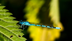 Damselfly (Andy Sut) Tags: blue damselfly nature leaf insect wildlife shropshire uk dennfarn macro closeup