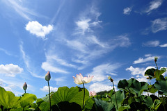 Lotus Under the Summer Sky (seiji2012) Tags: 西東京市 田無 東大農園 蓮 空 nishitokyo sky cloud 雲 夏 summer flower