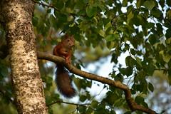 Orav (anuwintschalek) Tags: nikond7200 18140vr eesti estland estonia tallinn pääsküla nõmme suvi sommer summer garden garten july 2018 aed orav eichhörnchen squirrel