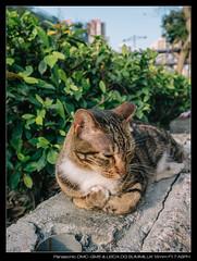 20170404-170913-GM5 (YKevin1979) Tags: cat 貓 lumix gm5 dmcgm5 mft microfourthird 15mm f17 leica15mmf17 leicadgsummilux15mmf17asph summilux leica