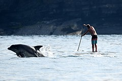 Dolphin a step ahead of the paddle boarder.... (karen leah) Tags: dolphin bottlenose mammal nature wildlife outdoors sea july summer cardiganbay ceredigion movement leaping acrobatics paddleboarder