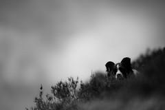 Ready! (JJFET) Tags: border collie dog dogs sheepdog herding