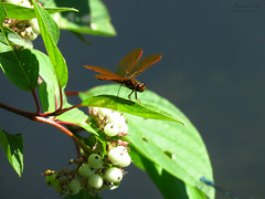 Eastern Amberwing IMG_6721 (Jennz World) Tags: ©jennifermlivick mountpleasantnaturepark mountpleasant mtpleasant ontario canada dragonfly damselfly