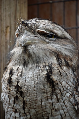 Dignity of a Frogmouth (MTSOfan) Tags: frogmouth tawnyfrogmouth lvz
