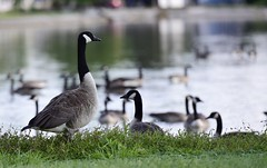 Silly goose.. (mrlang2) Tags: hunting goose geese wildlife