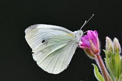 Piéride du chou - Pieris brassicae - Cabbage white butterfly (pablo 2011) Tags: collectionnerlevivantautrement ngc nikonflickraward nikonpassion nikond500 nikkor200500mm toulouse nature jardincompanscaffarelli macro insecte insect butterflies papillons piérides piérideduchou pierisbrassicae cabbagewhitebutterfly patrickblondel