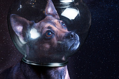 (24/52) To Space (Zach & Artsy) Tags: 52weeksfordogs artsy pugratterrier