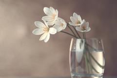 White Rain Lilies.... (vanila balaji) Tags: whiterainlilies blooming tair11a 135mm vanilabalaji m42 vintagelens russian vanila godox