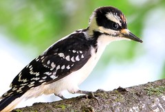 hairy woodpecker juvenile at Lake Meyer Park IA 653A3486 (lreis_naturalist) Tags: hairy woodpecker juvenile lake meyer park winneshiek county iowa larry reis