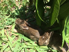 Baby Bunnies (C) 2017 by K. Palermo (kpalermosc) Tags: bunny bunnies rabbits cottontails nest babybunnies