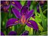 Purple Petals (jiroseM43) Tags: nature meadowlarkgardens olympus m43 em1markii 75300mm
