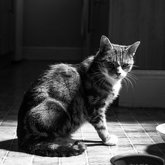 Neo - super model! (VWGolf65) Tags: cat tabby sun shadow black white