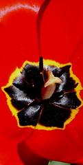 """Z albumu """"Tulipany"""". (andrzejskałuba) Tags: polska poland pieszyce dolnyśląsk silesia sudety europe panasoniclumixfz200 roślina plant kwiat flower tulipan tulip czerwony red macro yellow żółty color czarny black beautiful natura nature natural natureshot natureworld"""