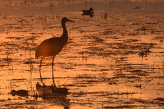 Horicon Marsh National Wildlife Refuge (turn off your computer and go outside) Tags: 2017 antigonecanadensis birdsofminnesotaandwisconsinpage121 horiconmarsh wi wisconsin bird critter dusk identified outdoors sandhillcrane spring