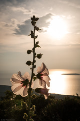 Listening to the sea (The Frustrated Photog (Anthony) ADPphotography) Tags: category edincik places travel turkey canon1585mm canon70d canon outdoor flower flora seascape sea bay water coast coastline coastal island marmarasea sun sky cloud cloudysky backlit hollyhock