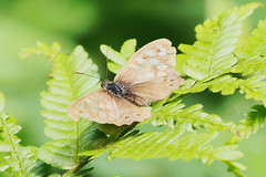 very faded speckled wood (Bill Kirby1) Tags: warnham lnr horsham west sussex invertebrate insect butterfly