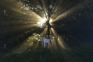 Rinder zählen im Morgennebel - eine heilige Kuh; Bergenhusen, Stapelholm (10)