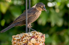 Red-winged Blackbird (female) (Stephen R. D. Thompson) Tags: 2018 usa redwingedblackbirdspeciesagelaiusphoeniceuspasseriformesicteridaeagelaiusagelaiusphoeniceus stcphotography thebirdsaves stephen thompson familyicteridaeblackbirdorioleandrelatives backyardbirdfeeding lincoln california lincolnhome handheld genusagelaiusblackbirds nature orderpasseriformessongbirds stephenrdthompson redwingedblackbirdspeciesagelaiusphoeniceuspasseriform