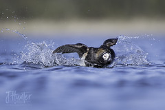Long-tailed Duck on landing (J.Hunter Photography) Tags: