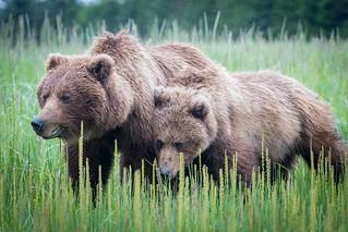 Wining bear