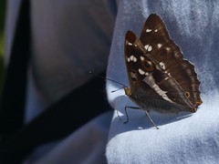 Purple Emperor Butterfly (ukstormchaser (A.k.a The Bug Whisperer)) Tags: purple emperor butterfly butterflies fly flies insect insects perched shirt sleeve feeding bucknell wood northants morning sunlight macro