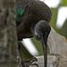 Hadada Ibis (National Aviary)