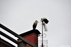 Comunicacion. (Howard P. Kepa) Tags: cataluña girona olot cigueñas tejado antenas chimenea barandilla verano