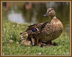Little family of duckings in the park (Jmarie999) Tags: duck ducklings goslings mallard