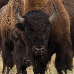 IMG_1918 Bison pair (cmsheehyjr) Tags: cmsheehy colemansheehy nature wildlife bison buffalo lamar yellowstone yellowstonenationalpark wyoming mates
