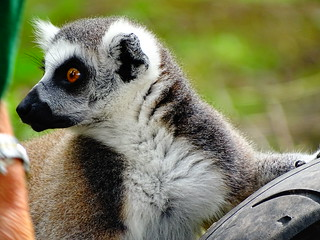 Ring-tailed lemur - is that more food?