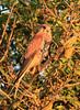 Young kestrel in full evening sun, Whitstable, Kent, late evening light (Jim_Higham) Tags: bird nature natural wild widlife avian british english uk britain eu europe european