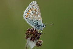 Common Blue Butterfly (Polyommatus icarus) (steve_whitmarsh) Tags: aberdeenshire scotland scottishhighlands highlands commonblue butterfly bokeh animal insect nature wildlife macro closeup topic abigfave smileonsaturday butterflies