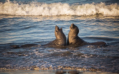 Northern Elephant Seals (Mirounga angustirostris) (Don Dunning) Tags: animals california canon5dmarkiii canonef100400mmf4556lisiiusm mammals miroungaangustirostris northernelephantseal piedrasblancaselephantsealrookery sansimeon seal unitedstates