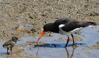Oystercatcher & chicks - Brownsea Island Dorset (3)