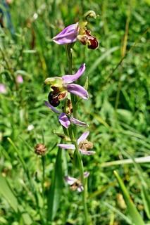 Bienenragwurz - eine einheimische Orchidee - Explore 26. Juni 2018 #257