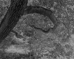 Tree with curved branch (Hyons Wood) (Jonathan Carr) Tags: tree ancient woodland black white branch light leaves rural northeast landscape 4x5 5x4 toyo largeformat