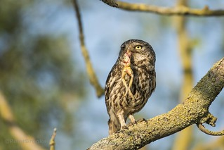 Little Owl (Athene noctua) with Frog - East Sussex