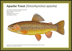 Rare Apache Trout (Fish as art) Tags: apachetrout troutart fishart troutgenetics troutfishing rivers ecology paulvecsei southwestusa usfishandwildlifeservice trout fish fisheries biodiversity drawingfish wildfirethreat arizona fishesofarizona whitemountains nativefish endangeredspecies threatened fortapacheindianreservation flyfishing fishillustration lillustrationscientifique apachetroutillustration oncorhynchusapache