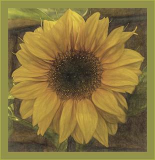 Archie Sunflower.
