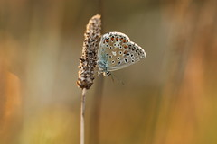 giù (@5imonapol) Tags: butterfly sunset bug common blue nature july summer bokeh light sun