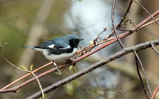 IMG_0444  Black-throated Blue Warbler