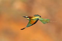 Merops apiaster, Μελισσοφάγος, European bee-eater (belas62) Tags: greece bif ngc rainbow βοιωτία πουλί bird